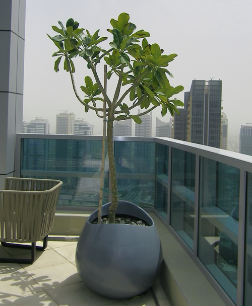 Plumeria Plant With Synthetic Pot Grass Roots